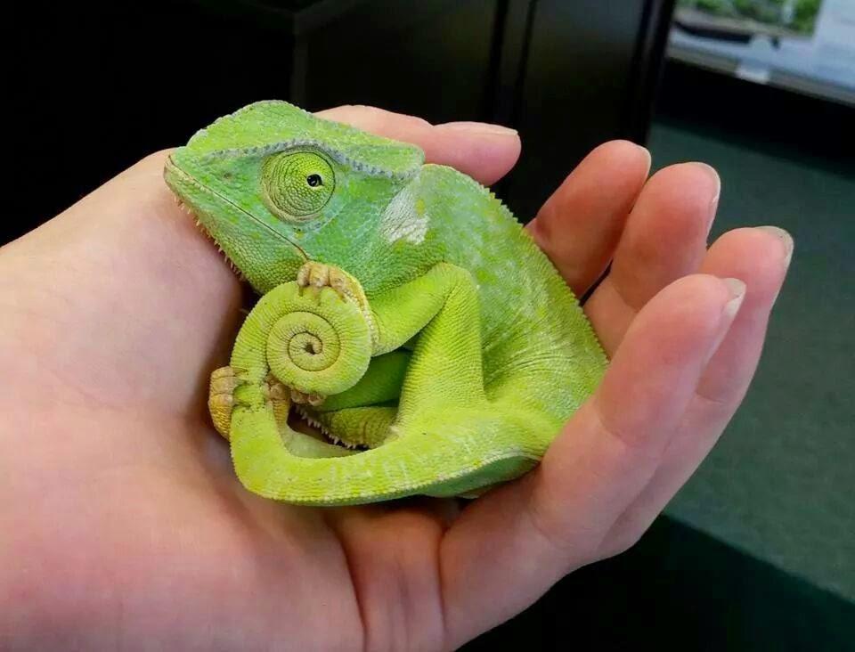 camaleãozinho tímido