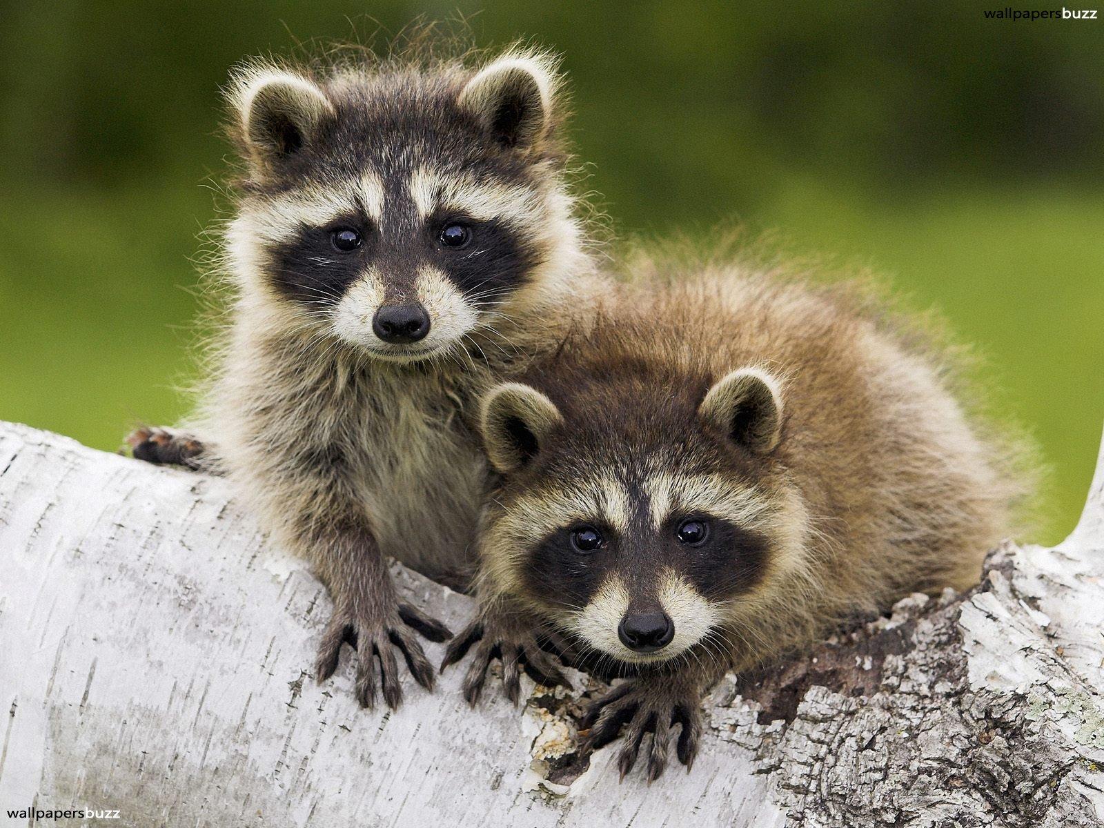 Raccoon T Funny Animals: Cute Ra...