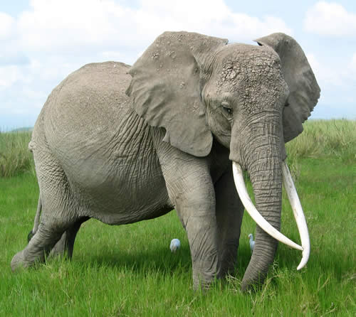 All About Animal Wildlife Elephant Info And Photos Images