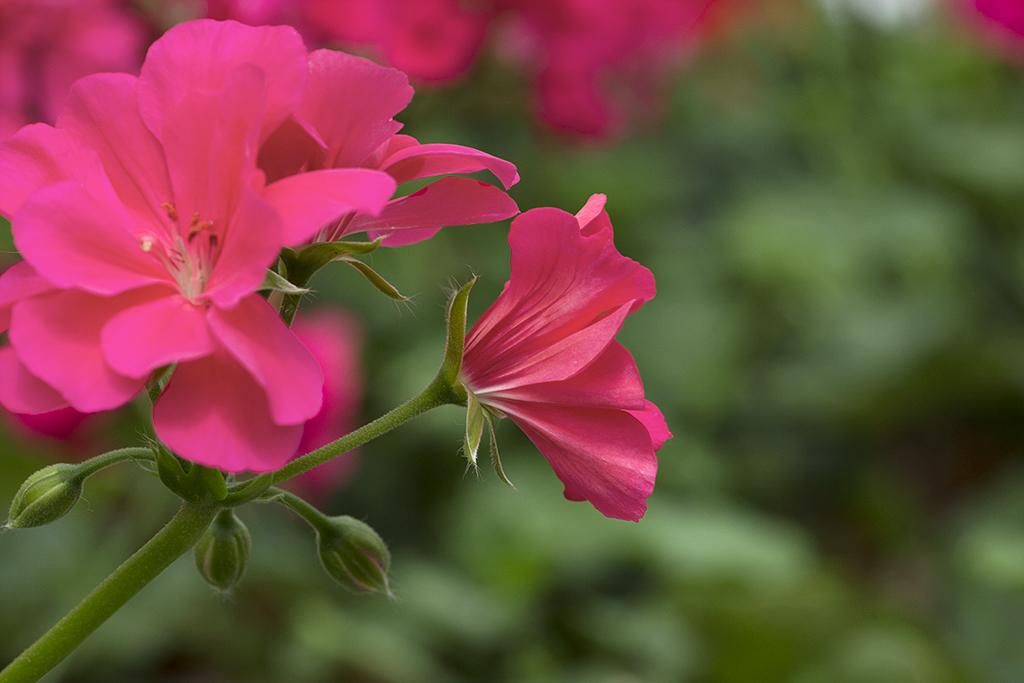 Fotografía macro pelargonium