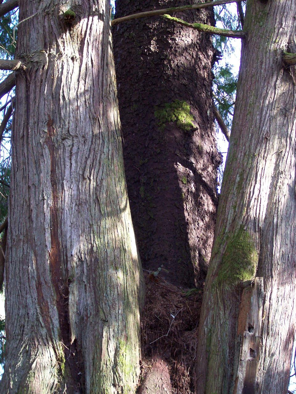 vancouver island big trees  sooke sitka spruce