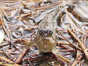 mudskipper bengkulu