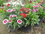 Một số hình ảnh hoa tại vườn. Hoa nở nhiều tháng trong năm.