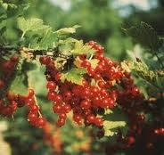 AGRIŞ-Ribes grosularia