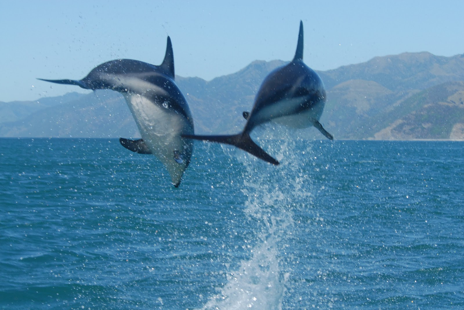 Dusky Dolphins | The Biggest Animals Kingdom