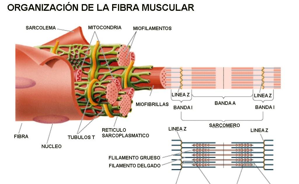 Biología Humana: SISTEMA MUSCULAR: CÉLULA MUSCULAR Y CONTRACCIÓN