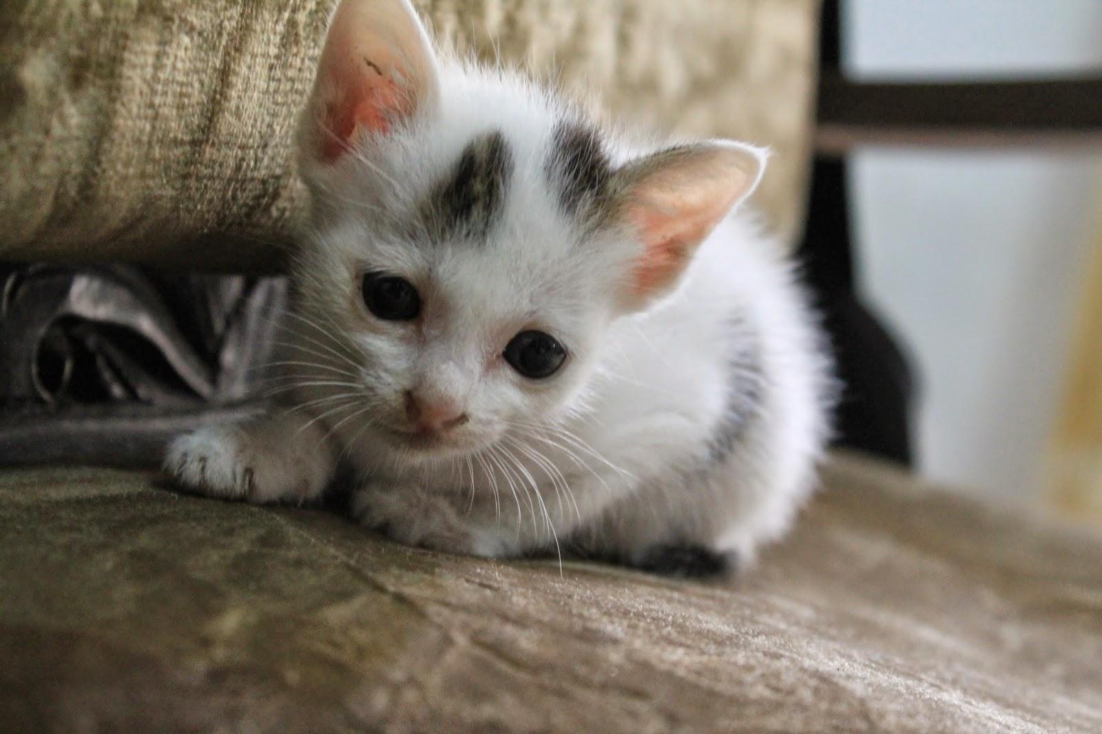 Virus Panleukopenia Pada Kucing Dan Perawatannya