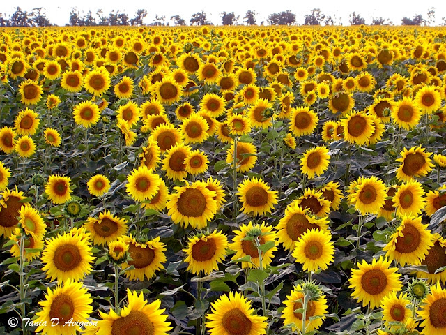 Sunflowers of Ukraine