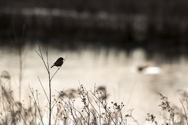 Back lit female Stonechat