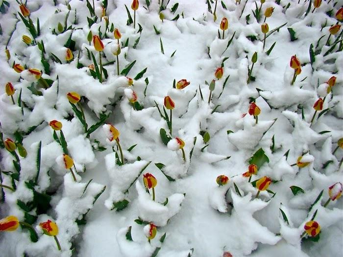 hoa tulip trong tuyet