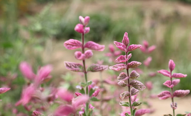 Annual Clary Sage