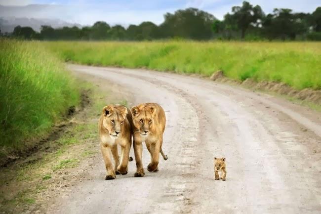 Этот львенок был гораздо меньше своих братьев и сестер, которые убежали в гущу леса, и всегда держался рядом с львицами. Масаи Мара, Кения. Фотограф: David Lazar
