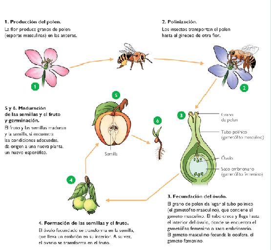 de polen de unas flores a otras se da en flores pequeñas y poco