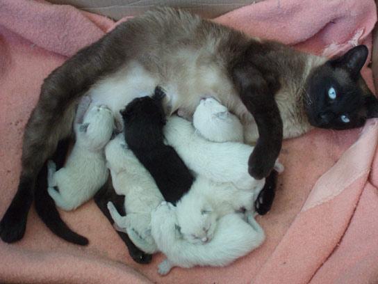 Gata siamesa con bebés recién nacidos y gato siamés en la hierba ;)