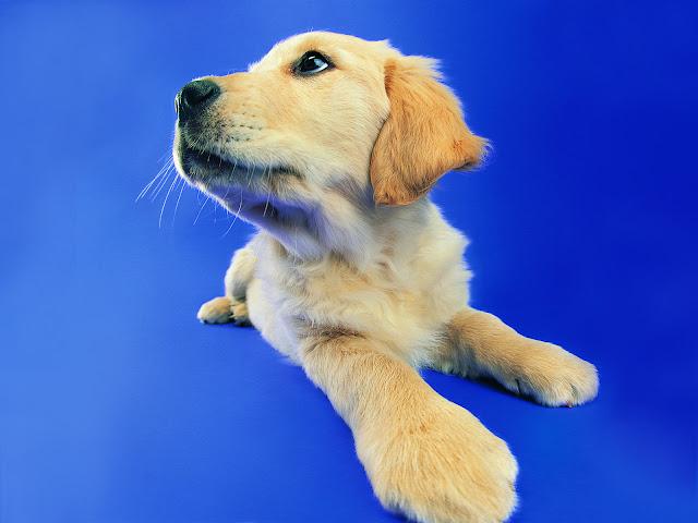 labrador picture, labrador puppy