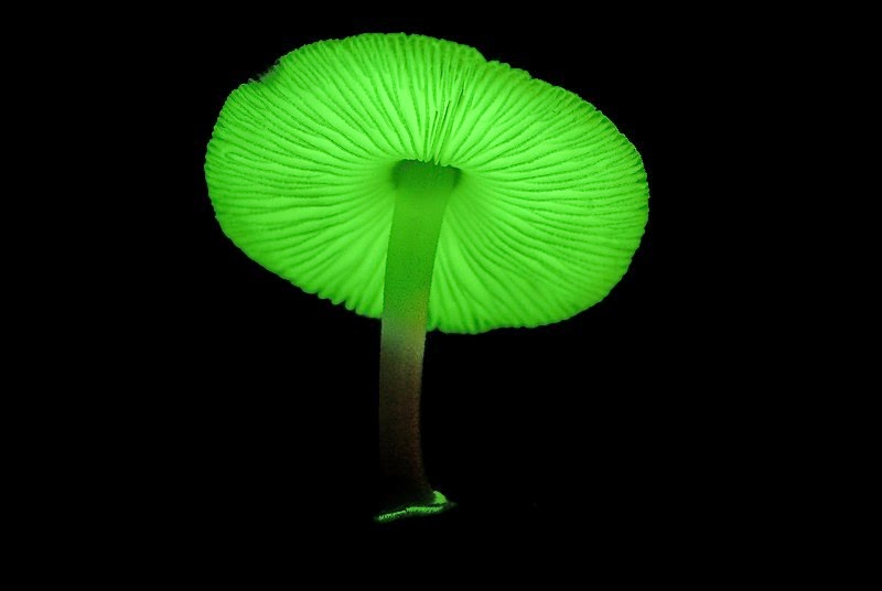 5 Jamur paling unik di dunia : Jamur Cahaya