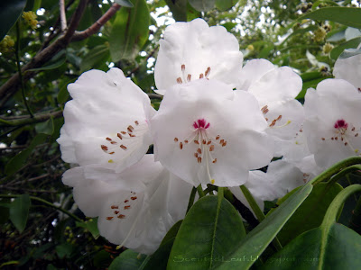 Rhododendron Crest - The Ted & Mary Greig Rhododendron Garden' title=
