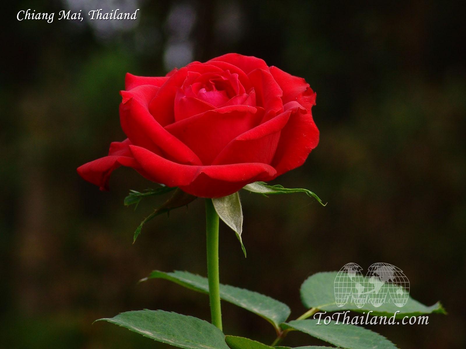 http://4.bp.blogspot.com/-uE6PqVxkPyk/T9bXrdLfUBI/AAAAAAAABbY/EBHikRkrfGI/s1600/rose-desktop-wallpaper.jpg