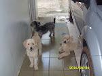 Meus Dogs (ao fundo Nina, Snuck e Polaco)