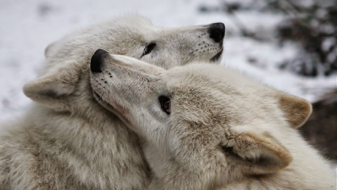 White Wolf : Wolves Ar...