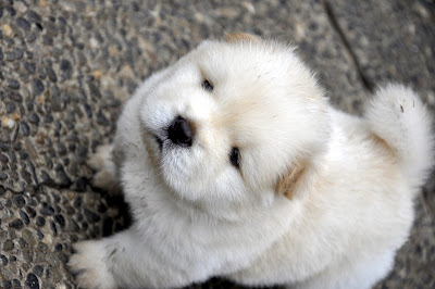 Chow Chow Puppy Pictures
