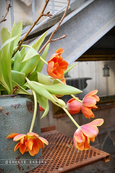 orange tulips, orangea tulpaner