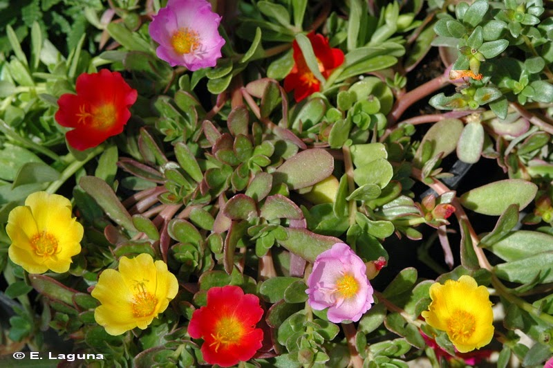 Flora belalcazarensis las verdolagas de verduras a for Matas ornamentales