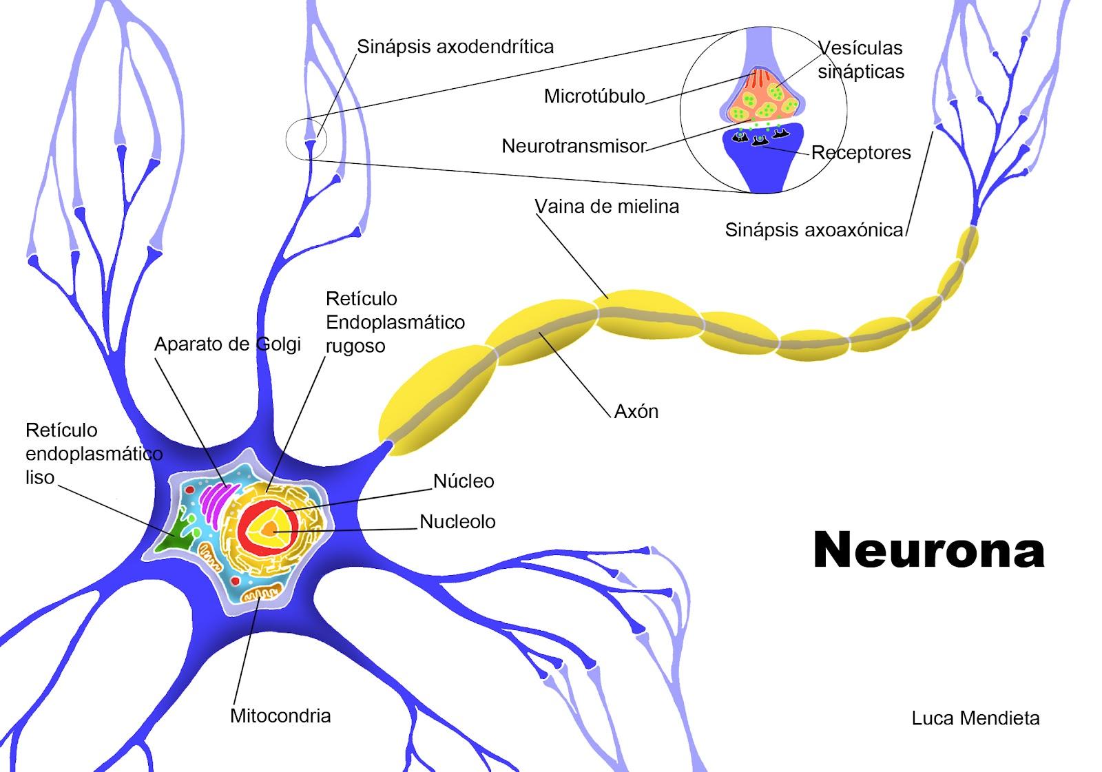 Neuropsicologia: Células nerviosas
