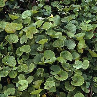 .: Centella Asiatica