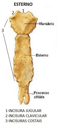 Estudos rea da sa de sara dall 39 alba anatomia for Esterno e um osso irregular