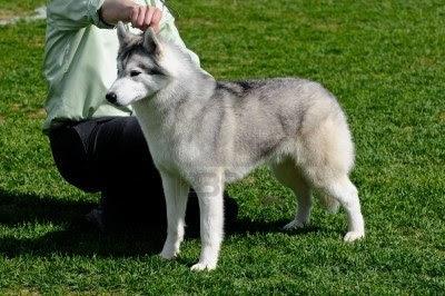 siberian-husky-dogs-for-sale
