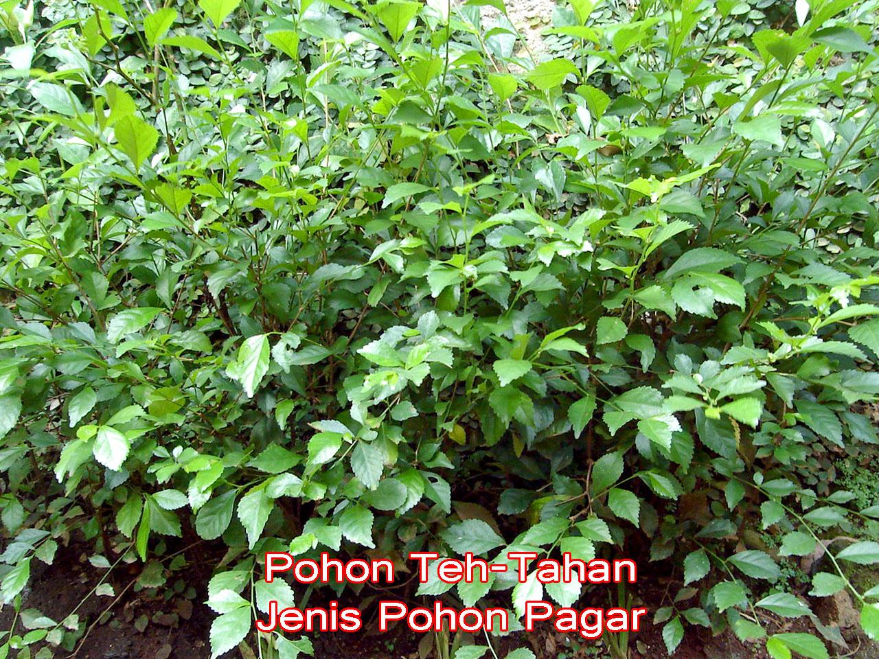 Jual pohon teh tehan jenis pohon pagar