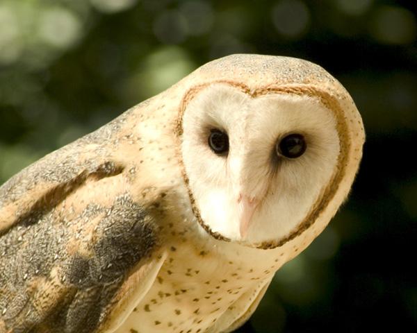 barn owls in a barn - photo #41