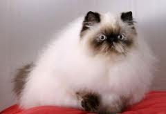 Pictures of persian siamese cats