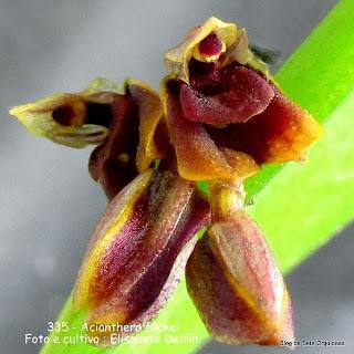 Pleurothallis fockei ,Humboltia fockei, Pleurothallis myrmecophila