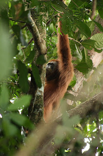 orangutan behind the trees