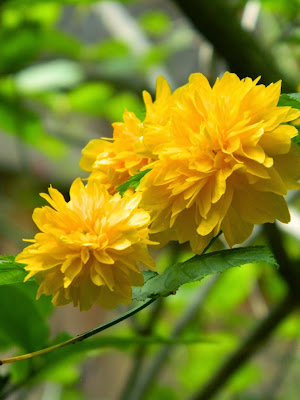 Kerria japonica flowers by garden muses-not another Toronto gardening blog