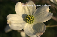 white dogwood flower