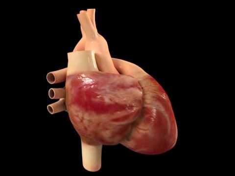 Anatomía y Fisiología del Sistema Cardiovascular: LOCALIZACIÓN DEL ...