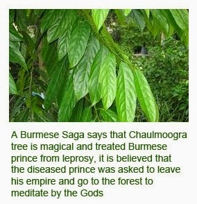 Chaulmoogra tree health benefits