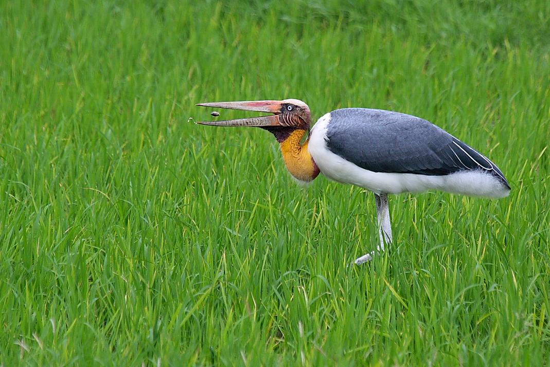 SARUS SCAPE: Waterbird...