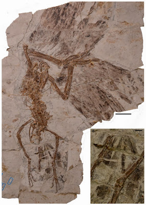 Dinosaur-era bird had two tails