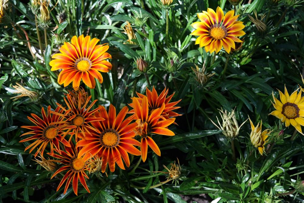 David Welch Winter Gardens - Duthie Park, Aberdeen. Orange flowers.