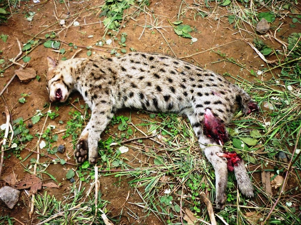 Eastern ghats wildlife society historical records and for Cat fishing 2