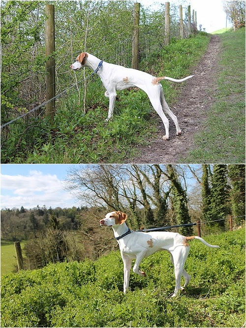 english pointer puppy pointing