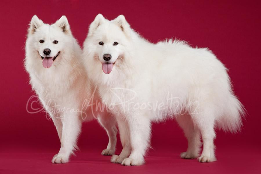 samojeedi-koerad-fotostuudios