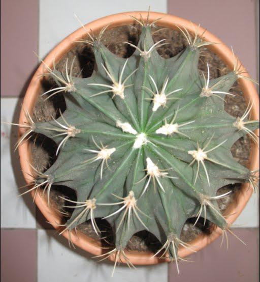 Ferocactus electracanthus