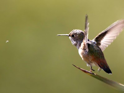 Baby Humming Bird Background