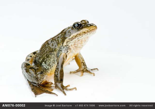 The Vanishing Amphibian Species by Joel Sartore_MyClipta