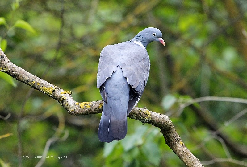 Common Wood Pigeon on a branch